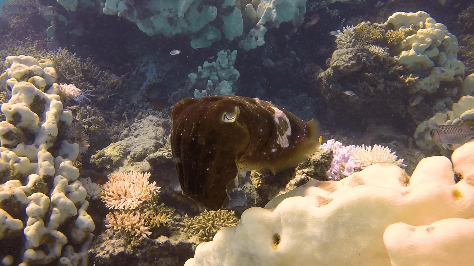 浜島東で見たコブシメの水中写真