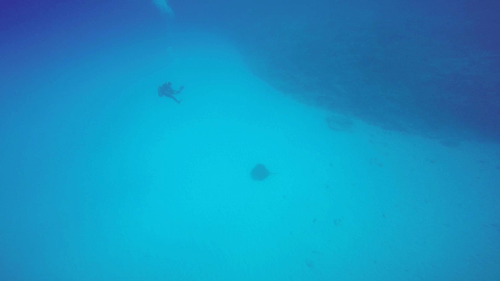 水底にいたマダラエイとダイバーの画像