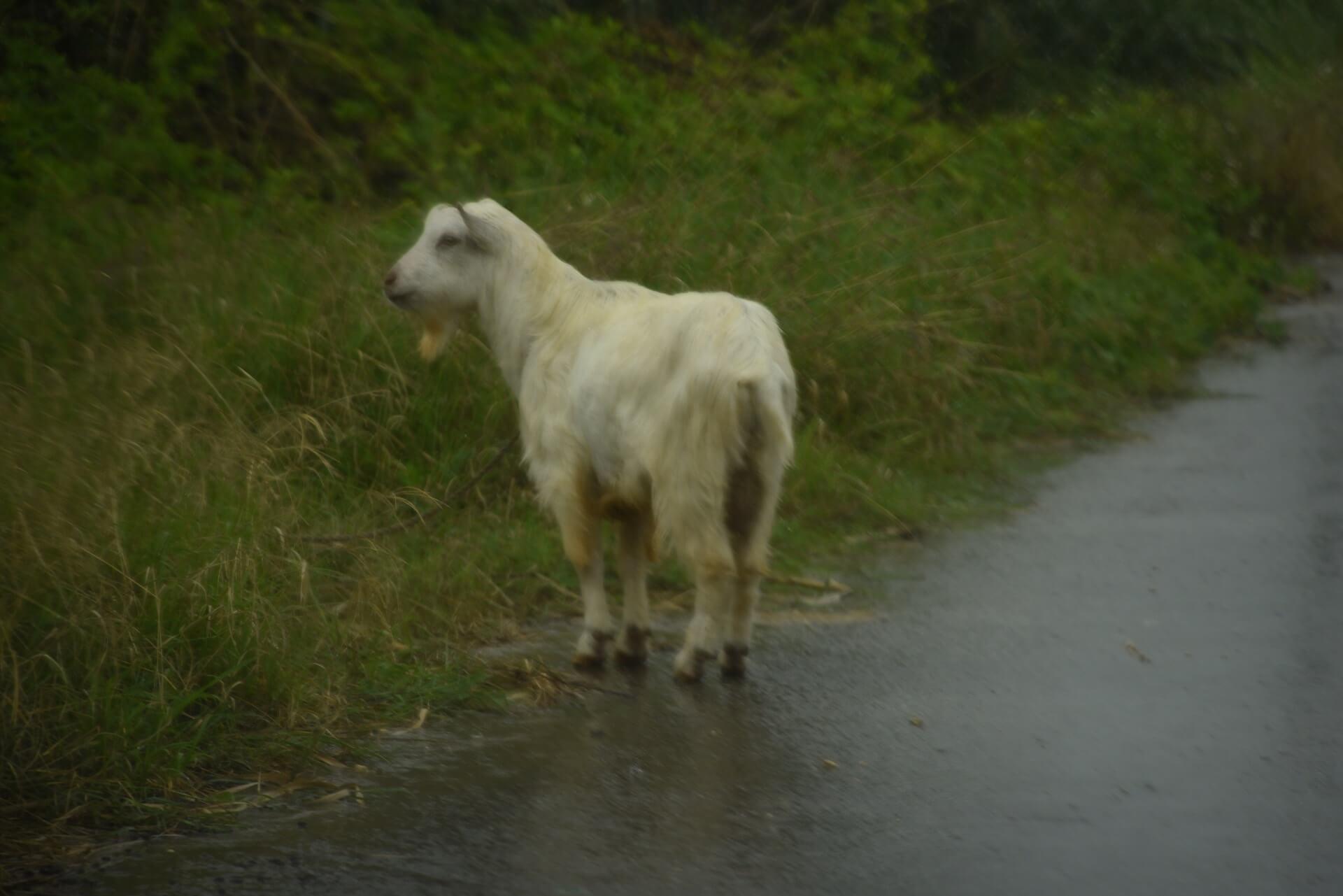 スコールでずぶ濡れになっている野生のヤギ(山羊)