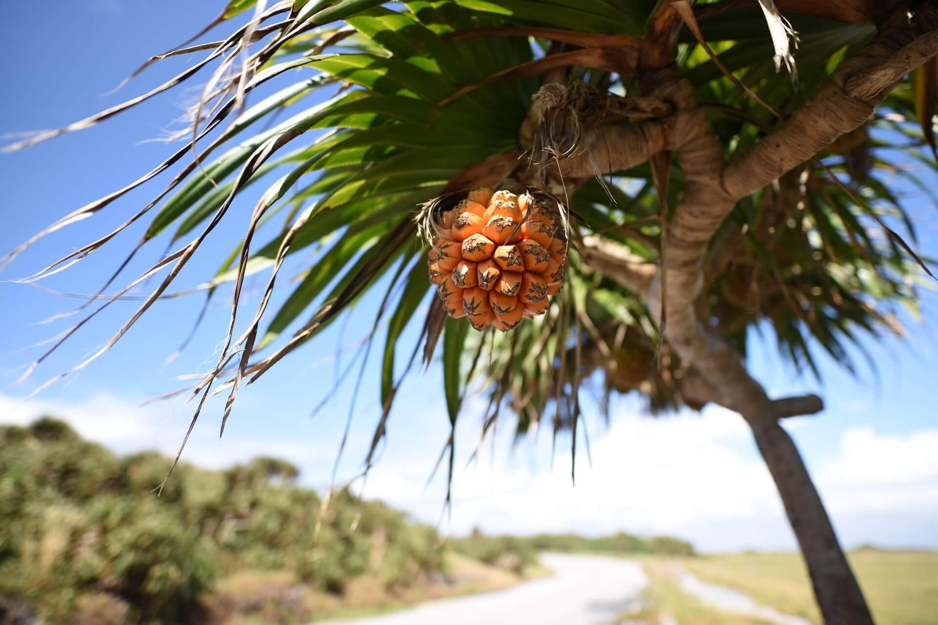 南の島にありそうな木と実
