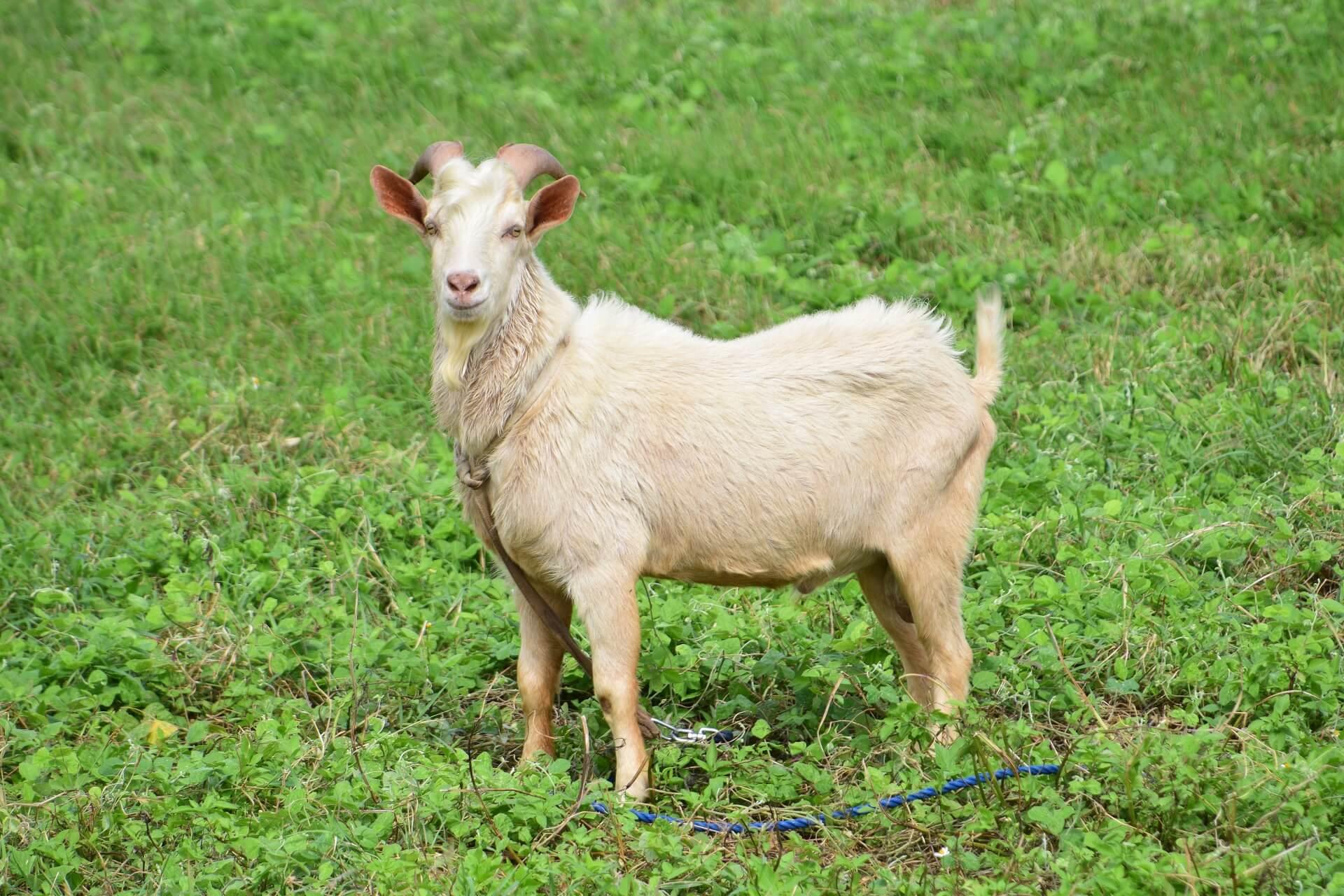 牡山羊の写真画像