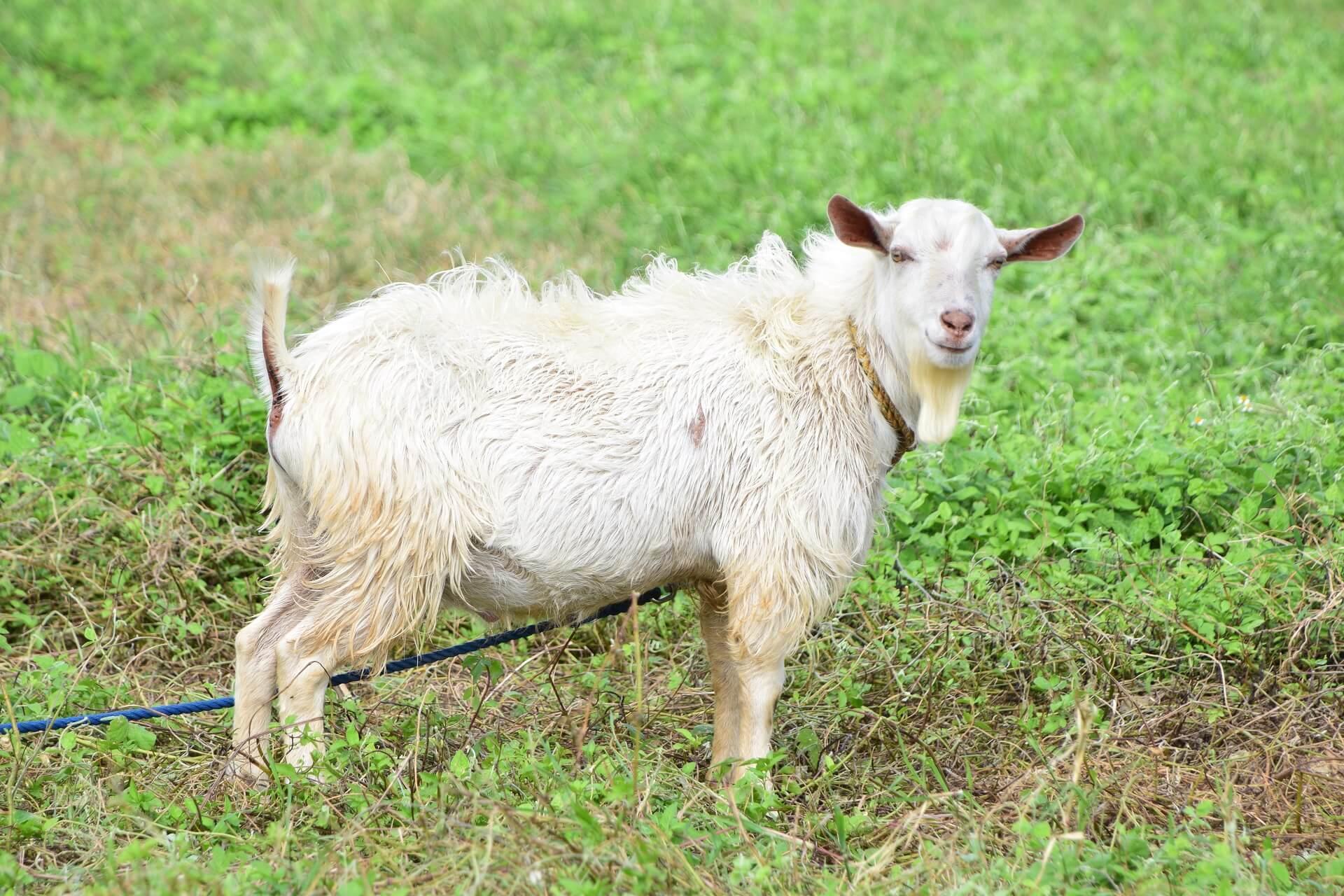 雌山羊の写真画像