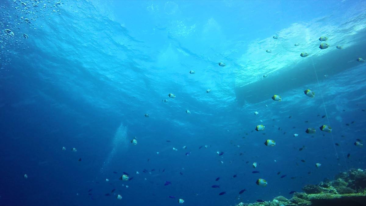 カスミチョウチョウウオの群れとサンゴの画像