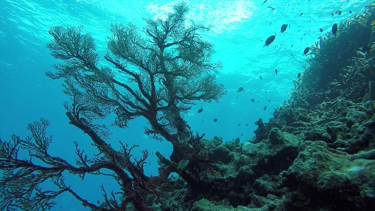 青かぶりした赤いサンゴの水中写真