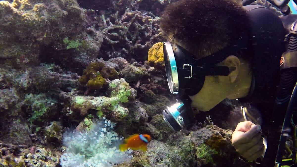 ダイバーとキスするハマクマノミの水中写真①