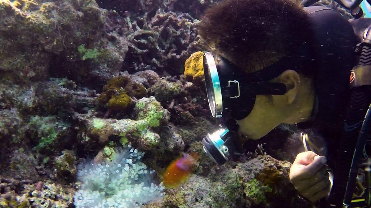 ダイバーとキスするハマクマノミの水中写真③