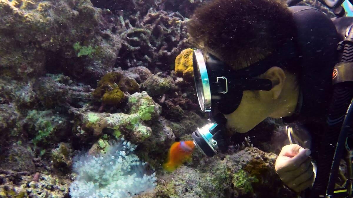 ダイバーとキスするハマクマノミの水中写真④