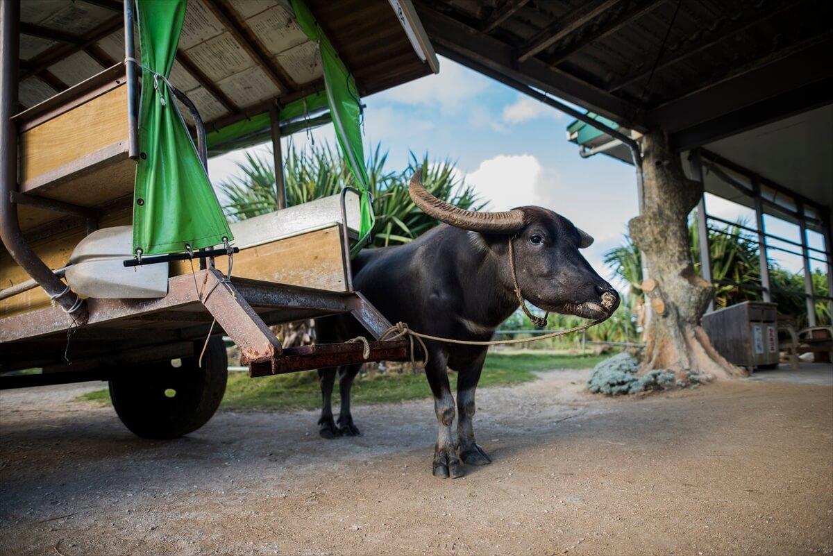 水牛と水牛車の写真