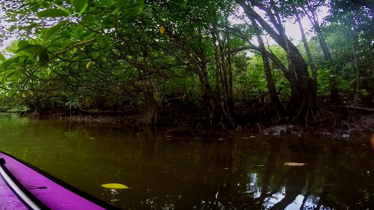 西表島のマングローブと川