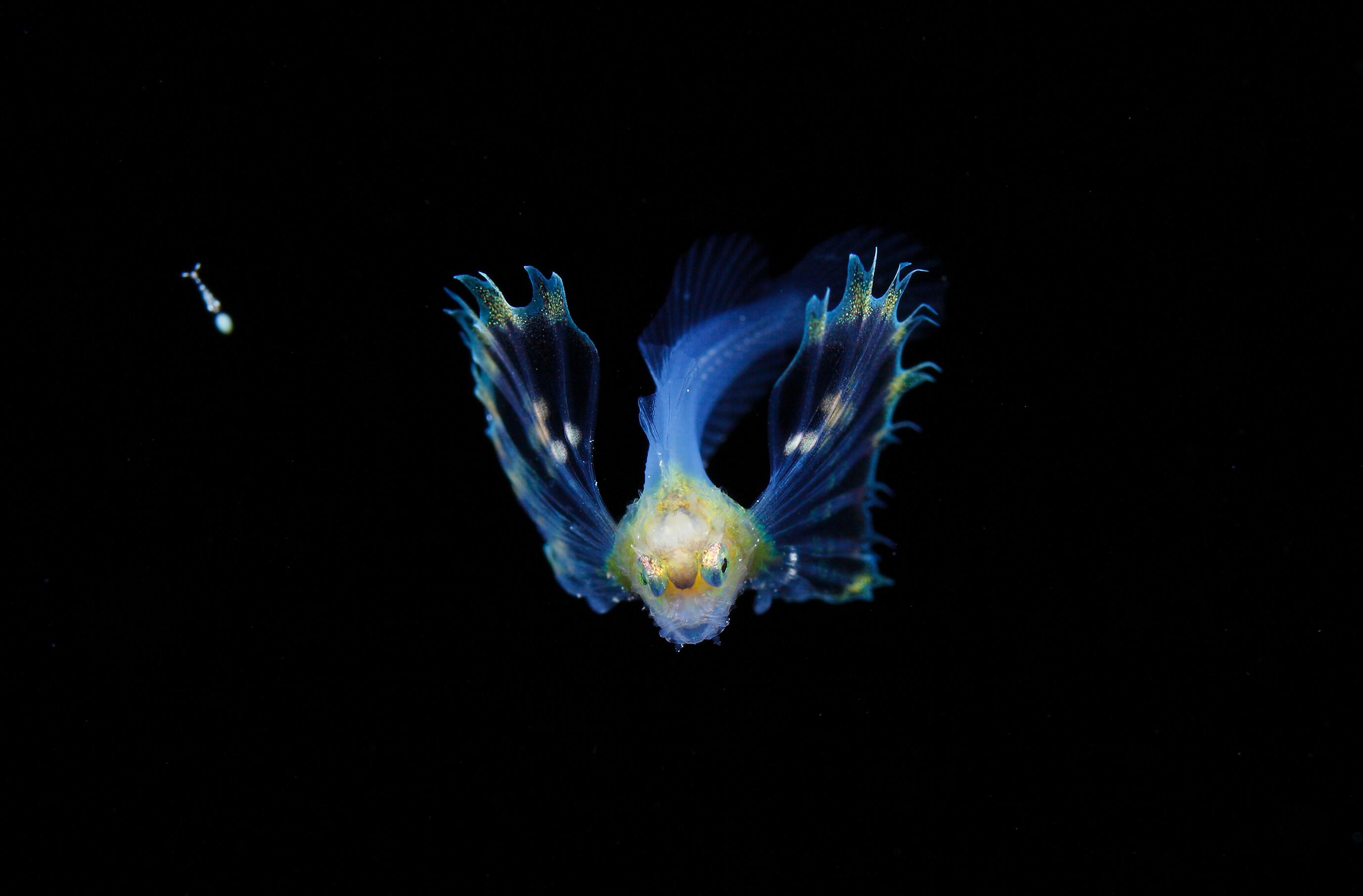プランクトンの水中写真2 (日経ナショナルジオグラフィック写真賞2016)