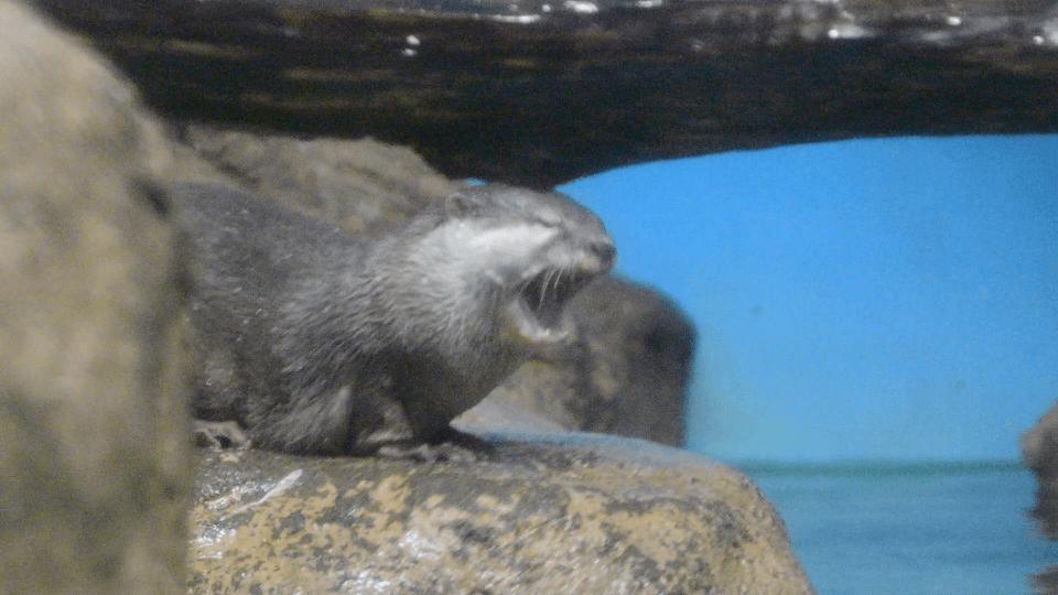 おたる水族館のカワウソの写真