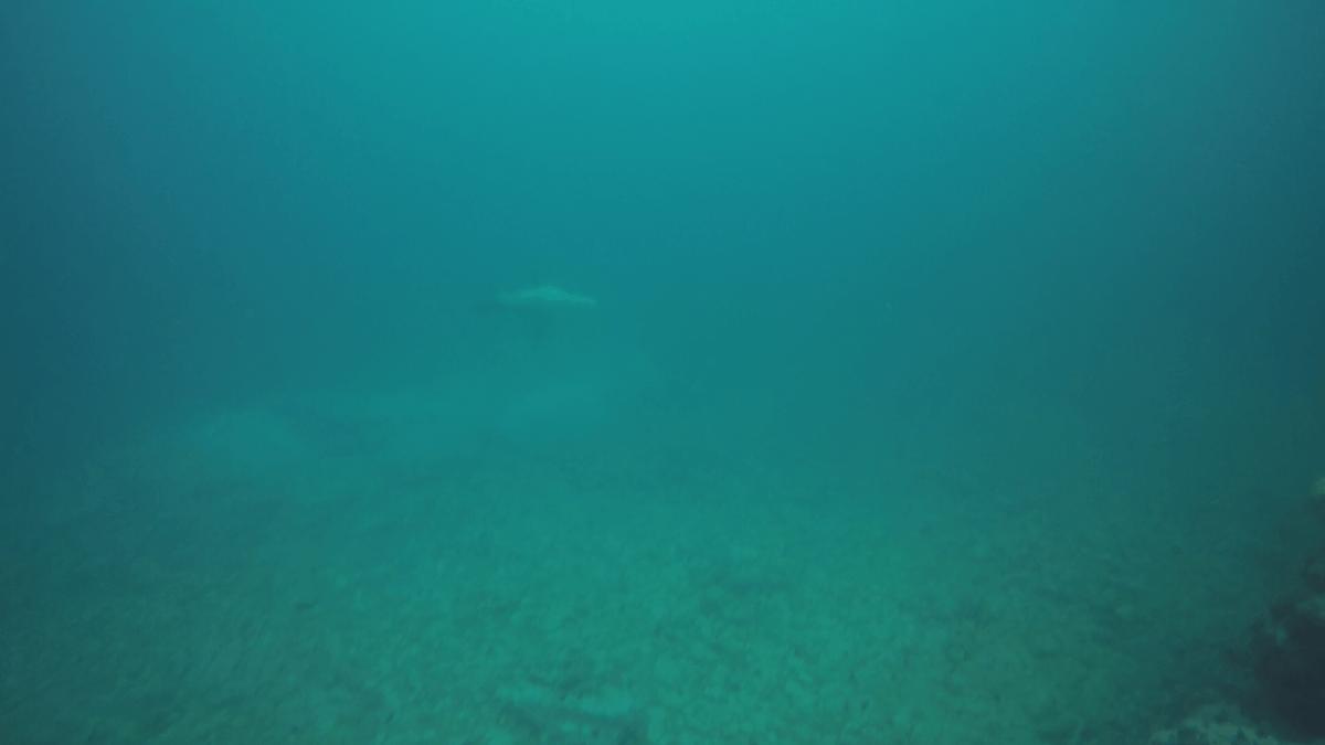 積丹で会ったトドの水中写真