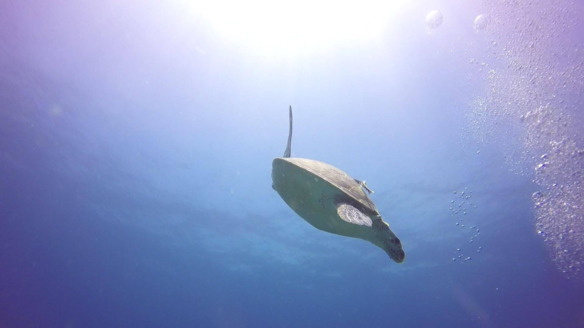 アオウミガメと水面の太陽の写真