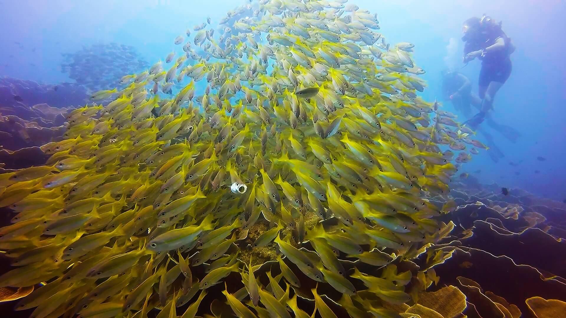 エルニドのキンセンフエダイの群れの写真
