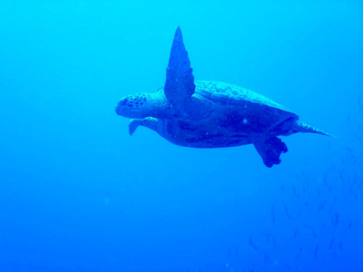 バリカサグ島ダイビングで会ったウミガメの水中写真