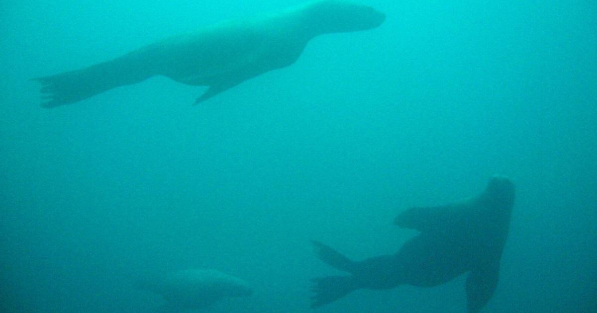北海道ダイビングで冬にみられるトドの写真画像