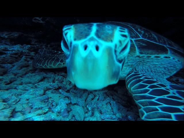 儀名にいたアオウミガメの水中写真