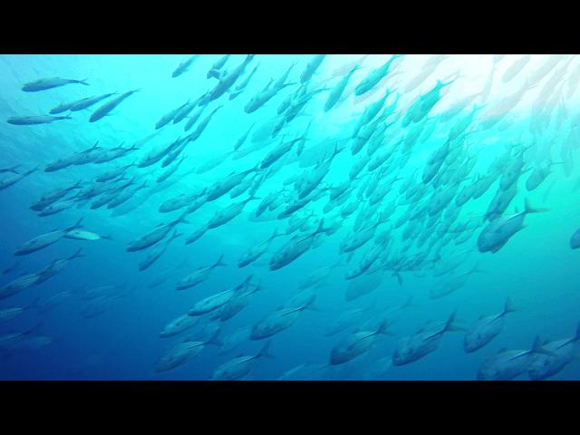 シミランクルーズでのギンガメアジの水中写真