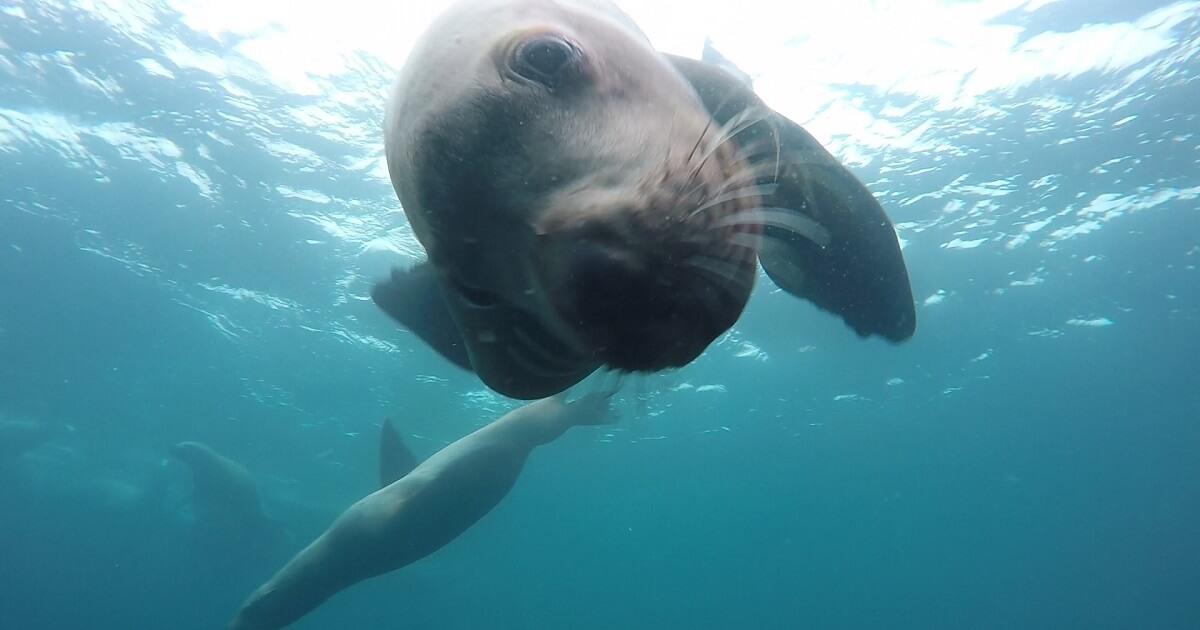 北海道・積丹半島のトドの水中写真画像