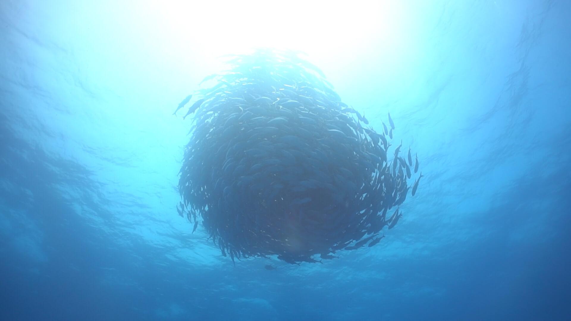 粟国ダイビングで会ったギンガメアジのサムネ画像